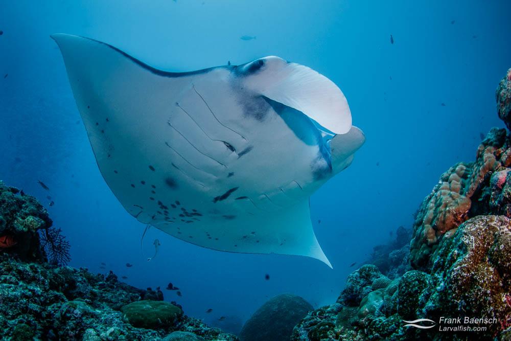 Manta ray (Manta birostris) at a cleaning station in Palau.