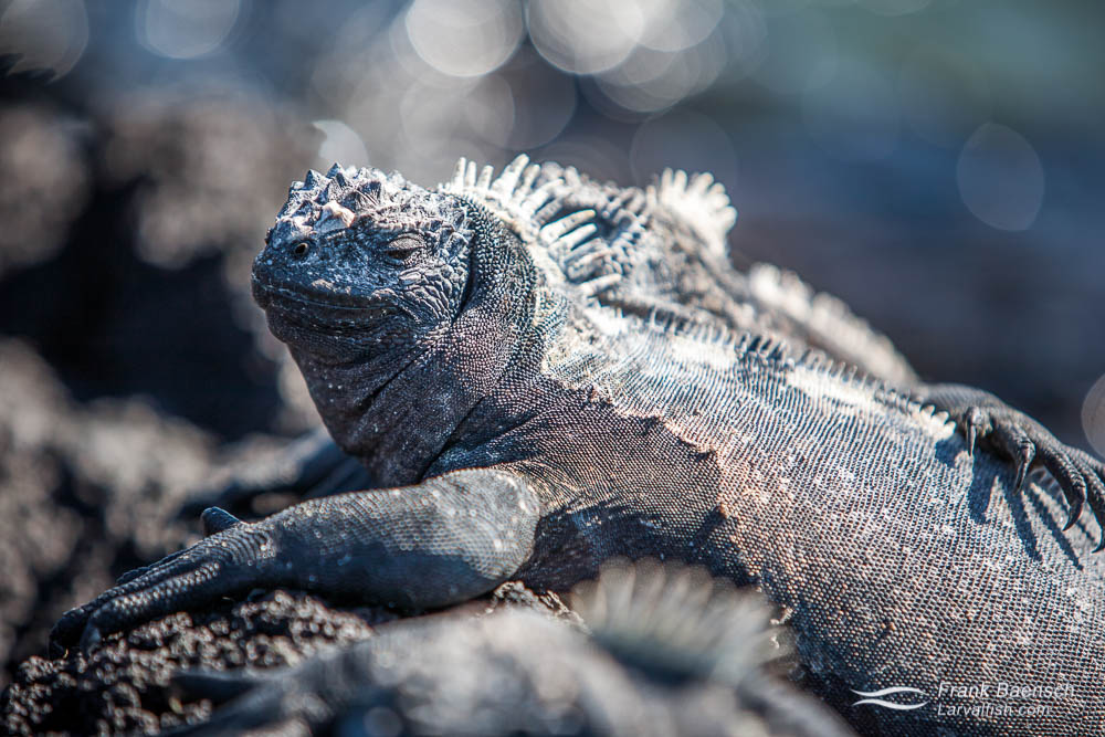 Marine Iguana (Amblyrhynchus cristatus). Galapagos Islands.