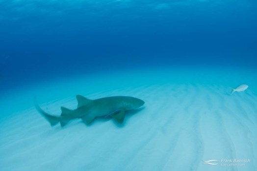 Motion blue of nurse shark (Ginglymostoma cirratum) over sand in the Bahamas.
