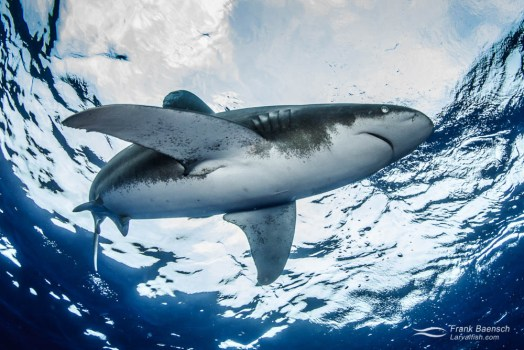An oceanic whitetip shark (Carcharhinus longimanus) on the surface from below.
