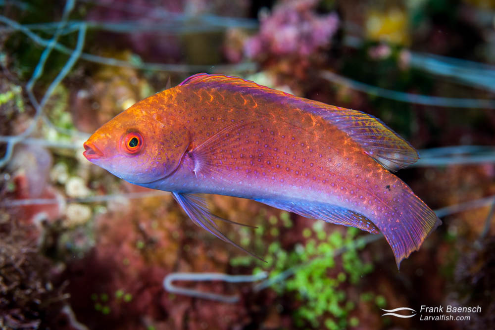 A female Beau's wrasse (Cirrhilabrus beauperryi). Solomon Islands.