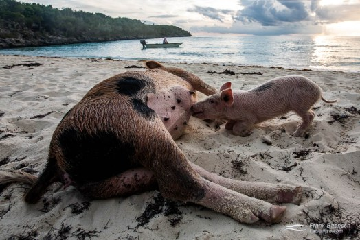 Piglet suckles sow on a beach in the Exumas, Bahamas.