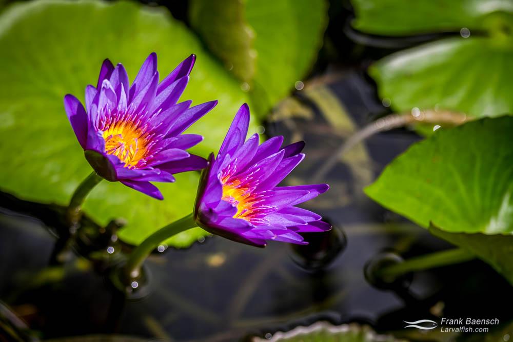 Purple lotus (Nelumbo nucifera) in my garden. Bahamas.