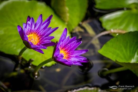 Purple lotus (Nelumbo nucifera) in my garden.