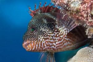 Redbarred hawkfish (Cirrhitops fasciatus).