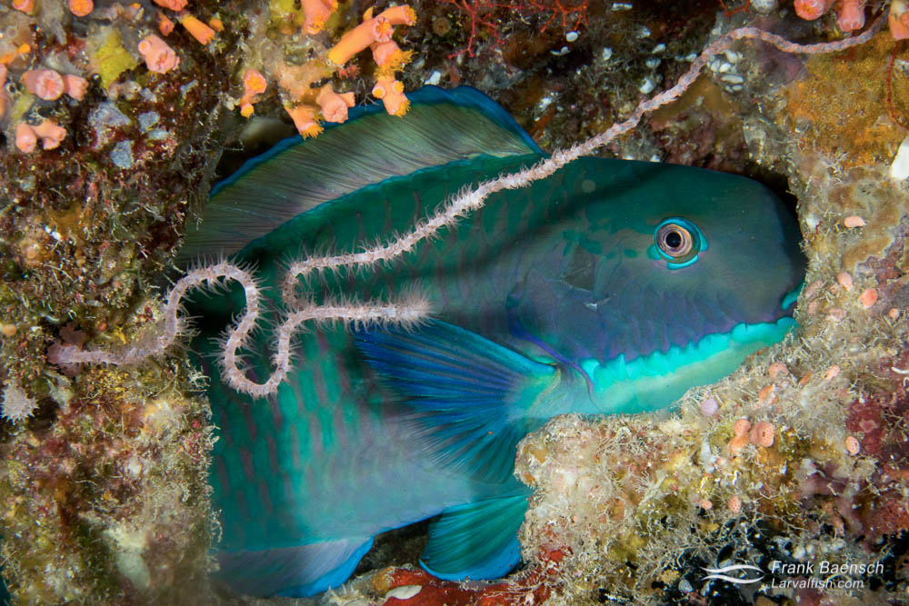 Sleeping redlip parrotfish (Scarus rubroviolaceus) on a reef in Palau.