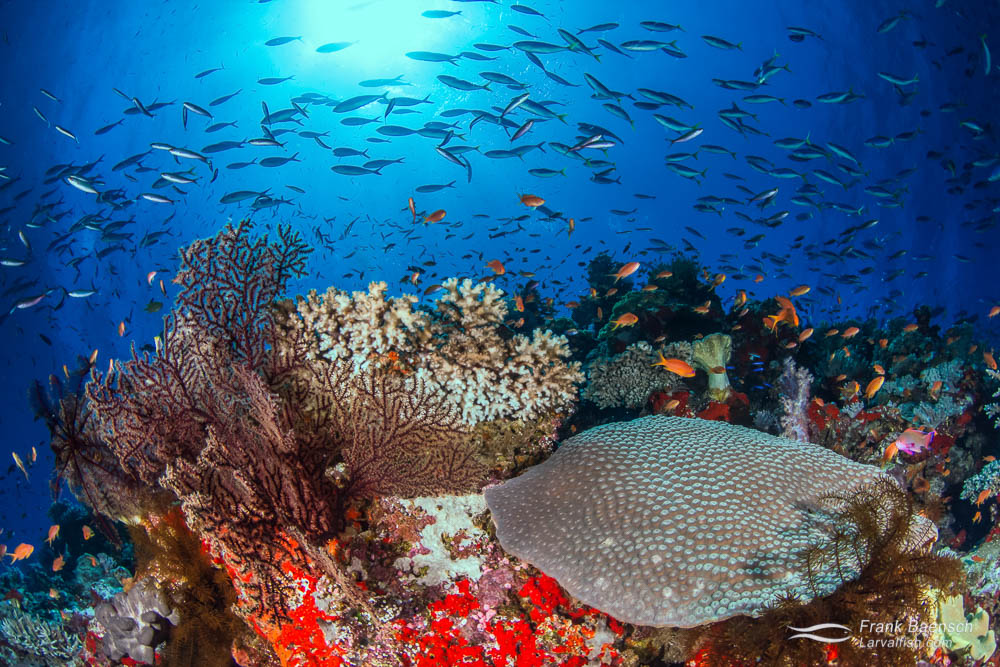 Reef scene with fusiliers and corals. Fiji.