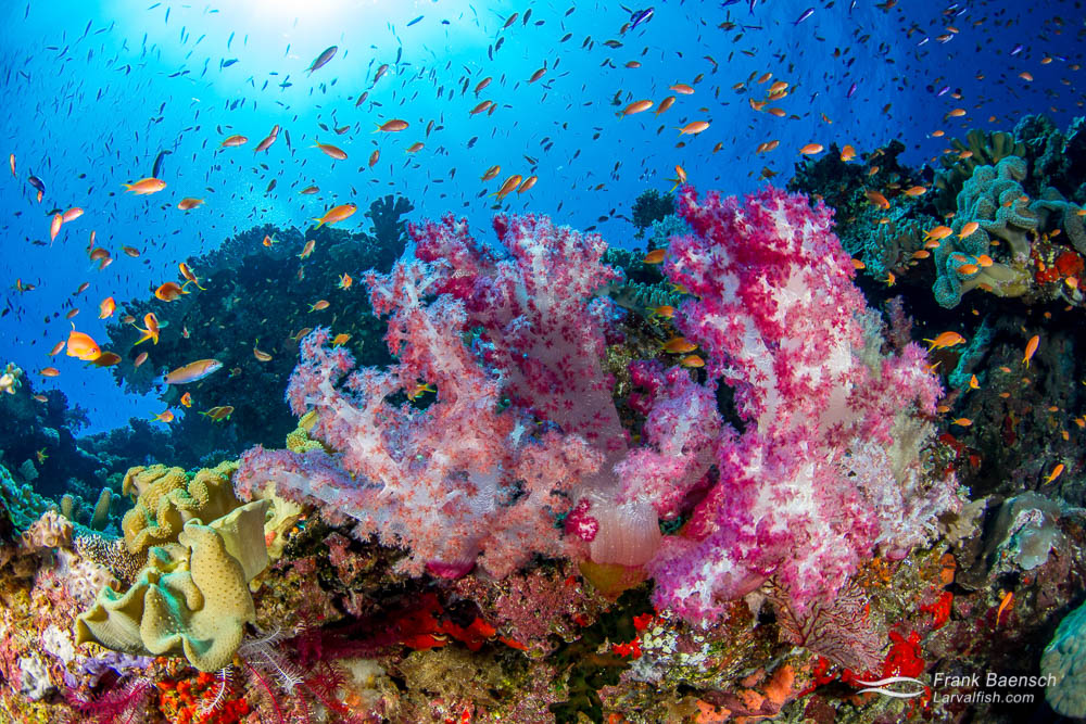 Soft corals and anthias reef scene. Fiji.