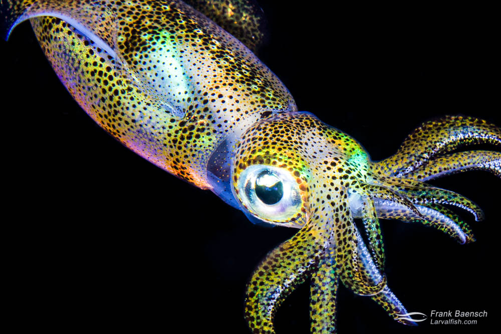 A reef squid (Sepioteuthis sp.) in full irridescence. Cephalopods create this amazing camouflage using specialized color changing cells (chromatophores) and reflecting cells (iridocytes) in the skin. Indonesia.