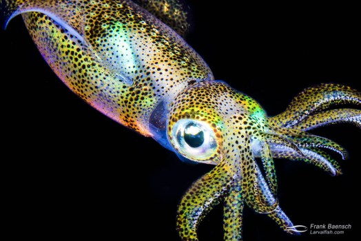 A reef squid (Sepioteuthis sp.) in full irridescence. Cephalopods create this amazing camouflage using specialized color changing cells (chromatophores) and reflecting cells (iridocytes) in the skin.