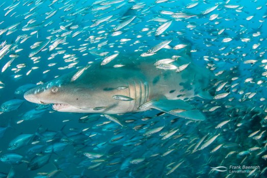 Upclose encounter of a sand tiger shark (Carcharias taurus) surrounded by round scad (Decapterus punctatus).