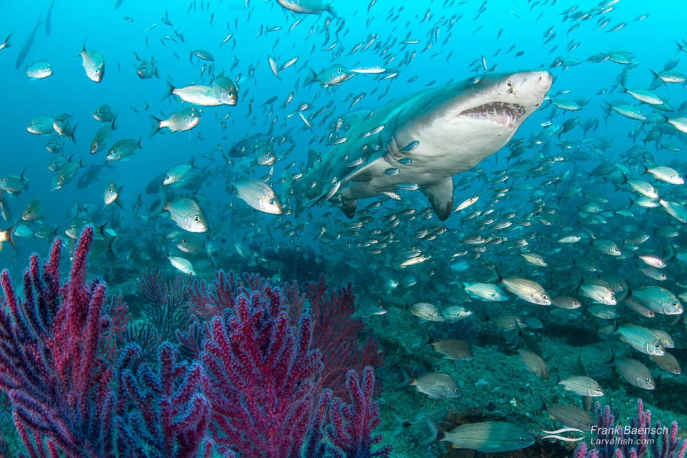 A sand tiger shark (Carcharias taurus) surrounded by tomtates (Haemulon aurolineatum) and round scad (Decapterus punctatus) above gorgonians. North Carolina.
