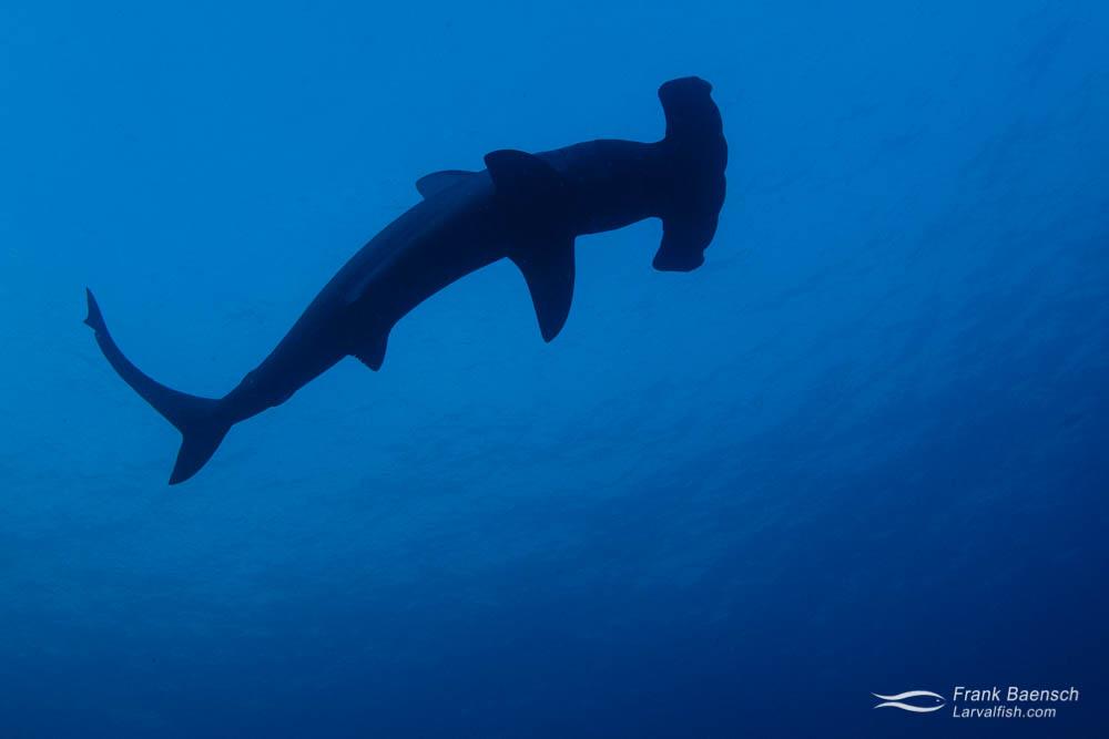 Silhouette of scalloped hammerhead shark (Sphyrna lewini) at Cocos Island. Costa Rica.