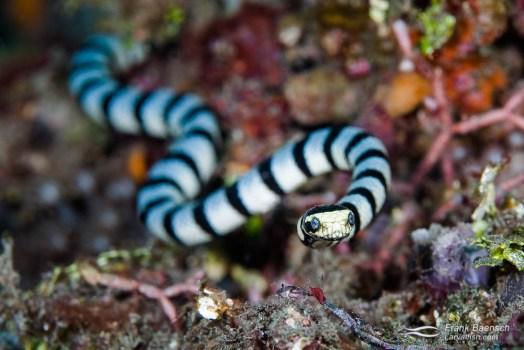 Colubrine sea krait, banded sea krait or yellow-lipped sea krait (Laticauda colubrina) Lembeh, Indonesia.