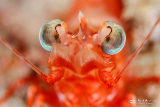 Head on shot of a shrimp's eyes.