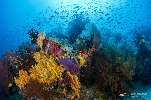 Colorful soft corals and fish on a reef in Fiji.