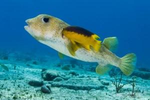 Spanish hogfish (Bodianus rufus) cleaning a spiny balloonfish (Diodon holocanthus). Bahamas.