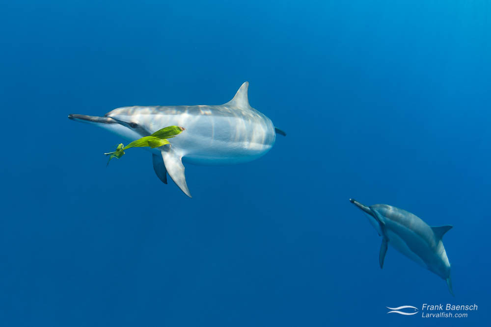 A spinner dolphin (Stenella longirostris) plays fetch with a leaf.  Hawaii.