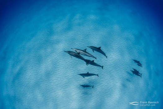A small pod of spinner dolphins (Stenella longirostris) cruise over sand in Hawaii.