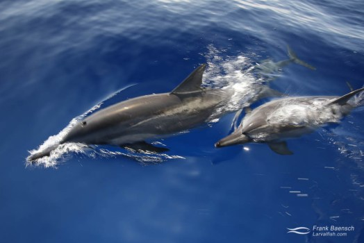 Two spinner dolphins (Stenella longirostris) break the surface in slow motion.