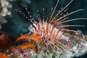 Spotfin lionfish (Pterois antennata). Indonesia.