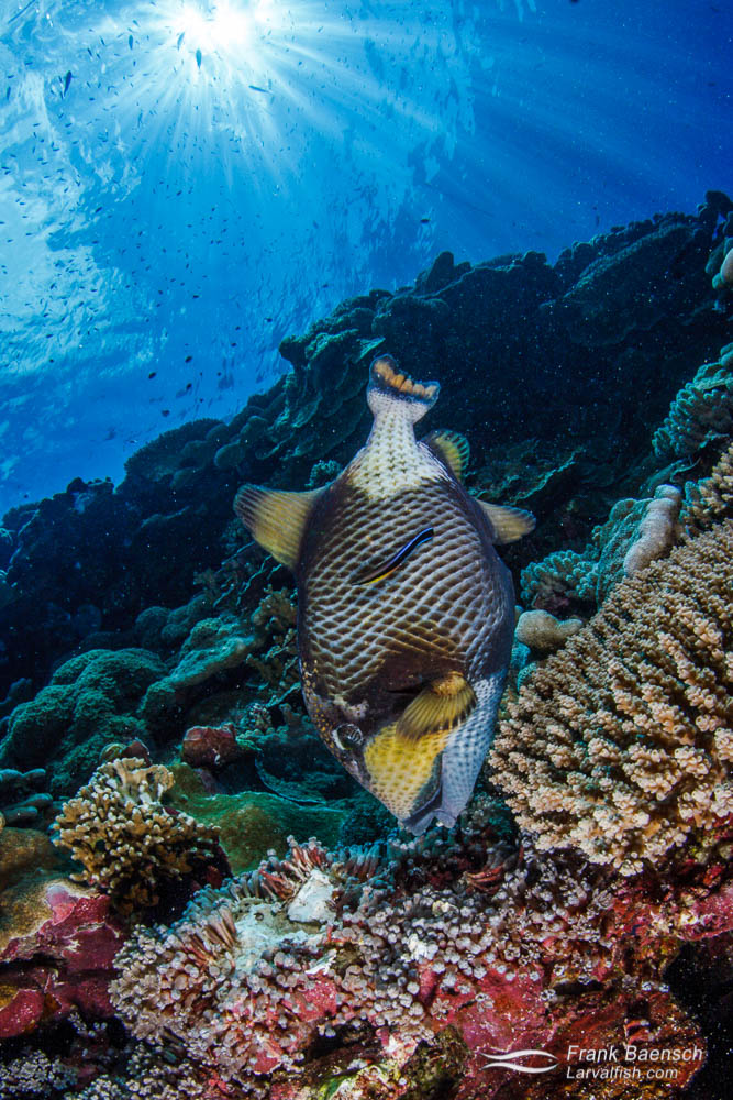 A titan triggerfish (Balistoides viridescens) breaks up coral to feed on hidden reef invertebrates under afternoon sunrays. Solomon Islands..
