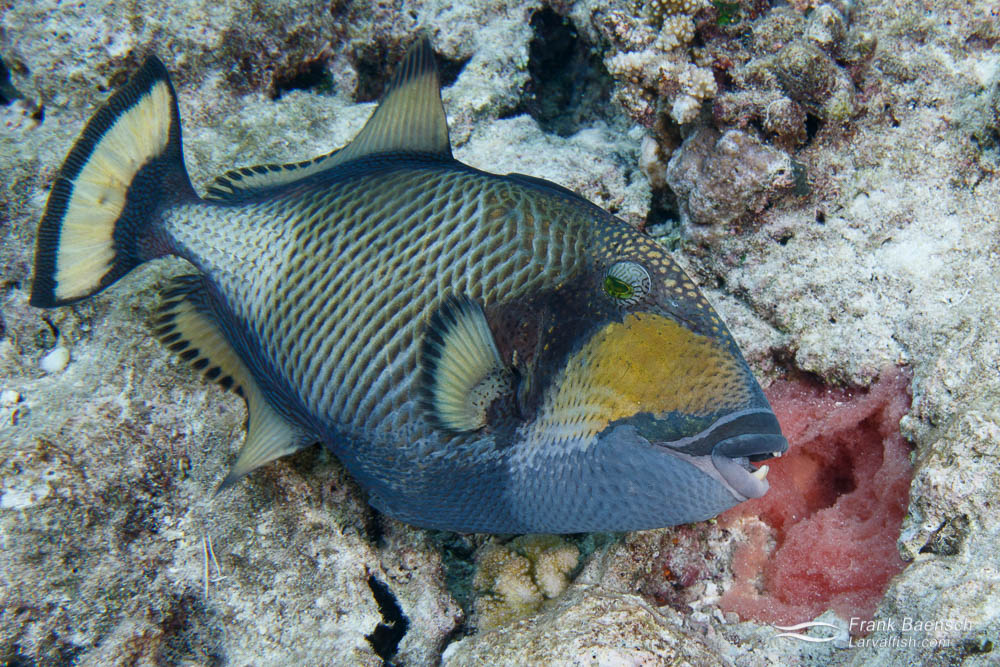 Titan triggerfish (Balistoides viridescens) protecting its nest. Palau.