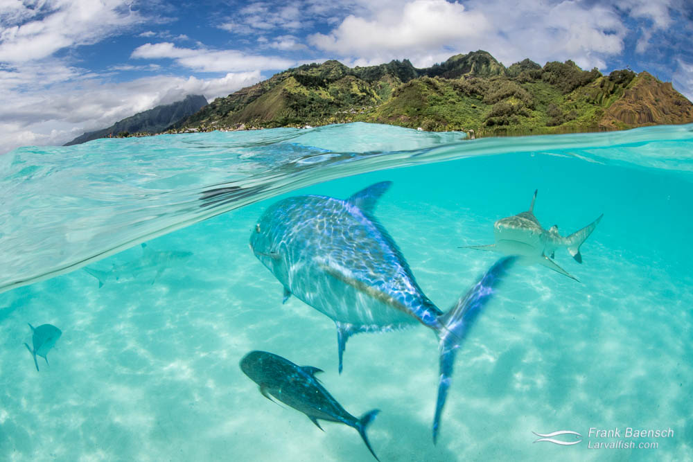 Over-under photo of jacks and sharks on a sandbar with Moorea's mountains in the background. French Polynesia.