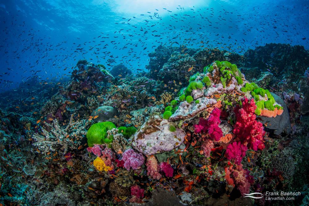 Green turf algae and soft coral reef scene. Fiji.