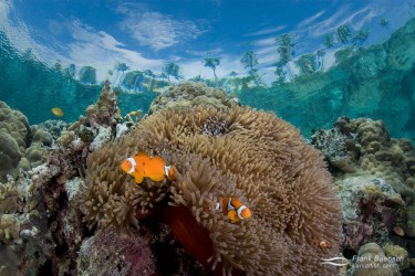 An anemone and its resident clownfish under palm trees and blue skies in the Solomon Islands.