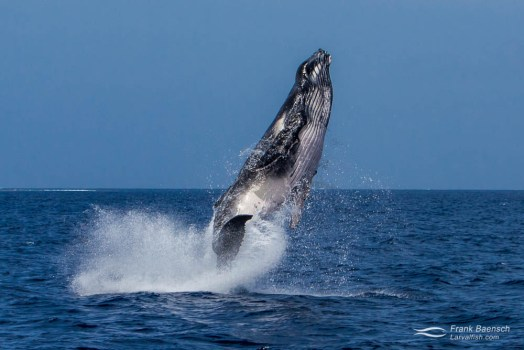 Humpback whale (Megaptera novaeangliae) calf  fully breaches out of water.