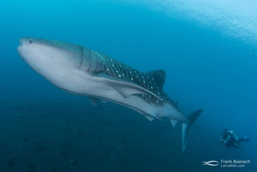 A diver swims with a juvenile whale shark (Rhincodon typus) off Bali, Indonesia.