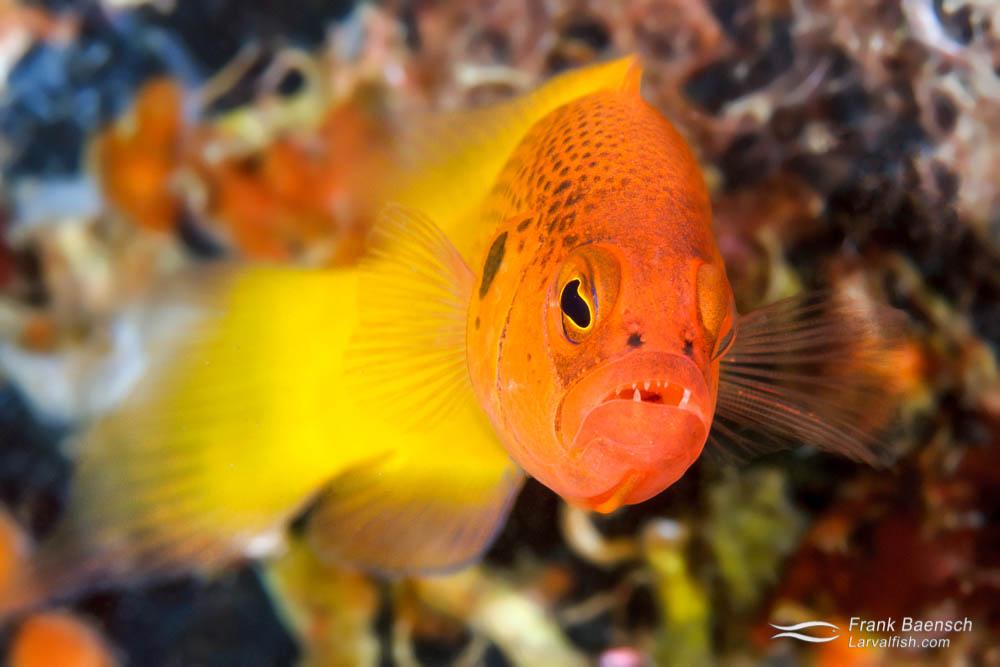 Yellow dottyback (Pseudochromis moorei). Philippines.