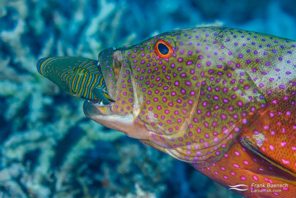 Yellow-edged lyretail (Variola loutiorange) eating a lined triggerfish (Balistapus undulatus). Palau.