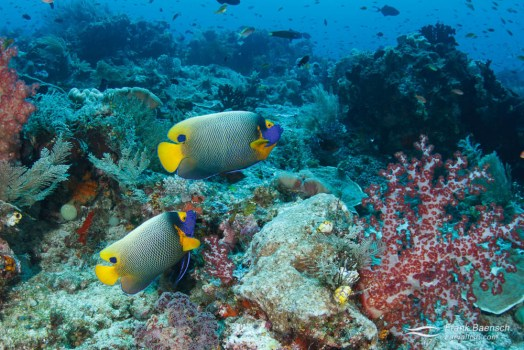 Yellow-face angelfish (Pomacanthus xanthometopon) on a reef in Indonesia.