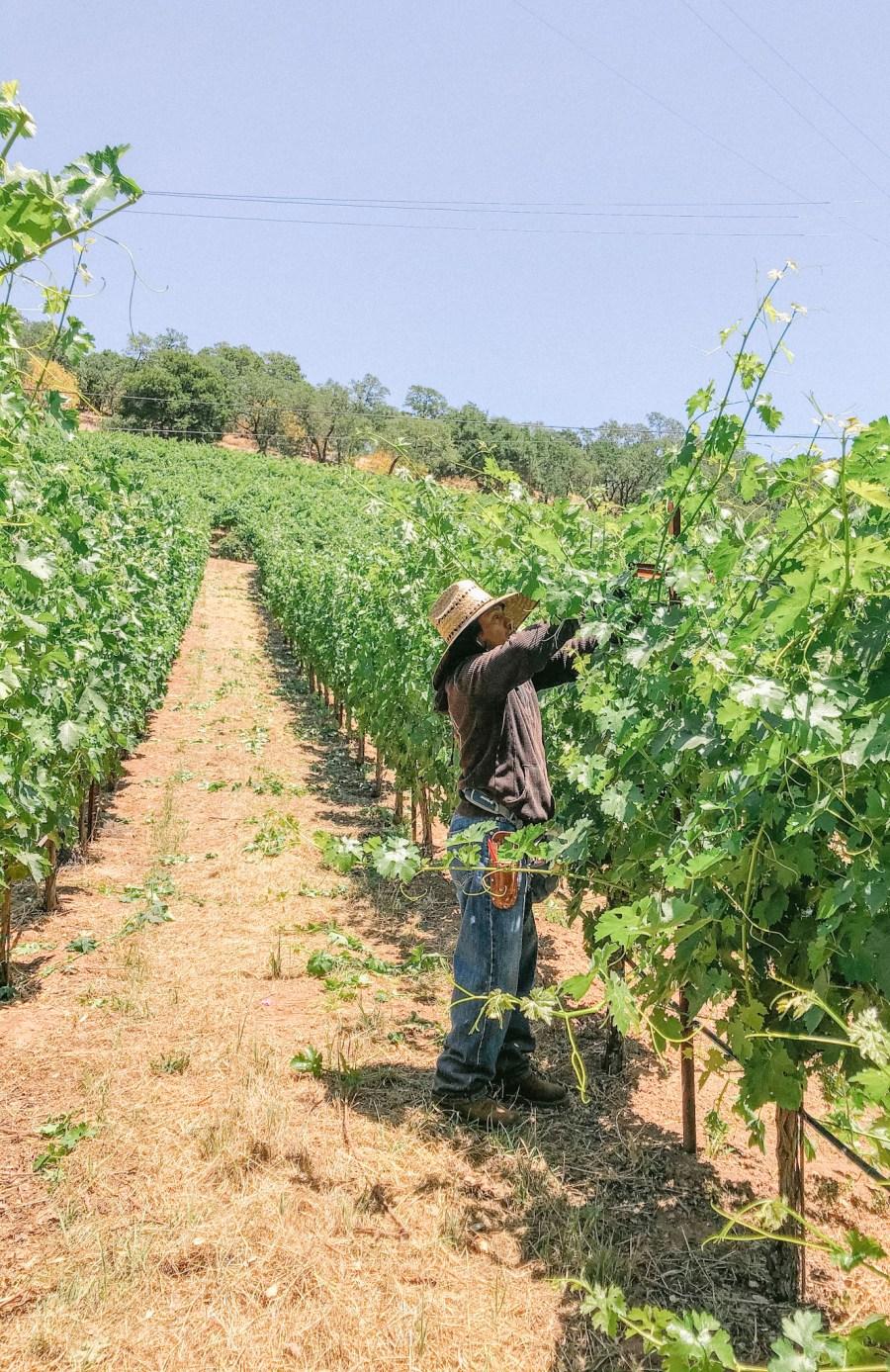 flowering, fruit set,wine, winery,vineyard,california wine,