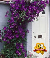 Clematis ´The President&reg,´,1 Pflanze