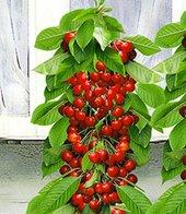 Säulen-Süßkirsche ´Helena&reg,´,1 Pflanze