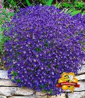 Blaukissen ´Cascade Blue´,3 Pflanzen