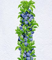 Säulen-Zwetschge ´Anja&reg,´,1 Pflanze