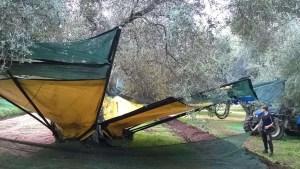 scuotitura olive