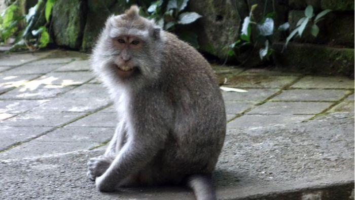 Ein Makakenmännchen im Monkey Forest