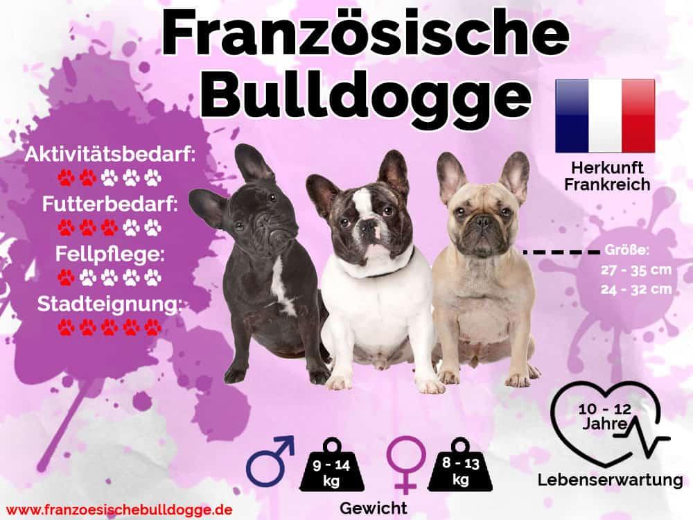 Französische Bulldogge Infografik