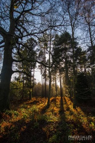 bedgebury trees