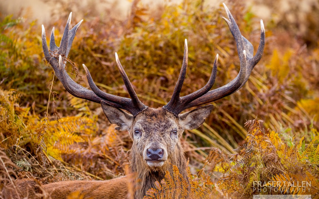 off we go to Richmond Park to see the Deer rutt
