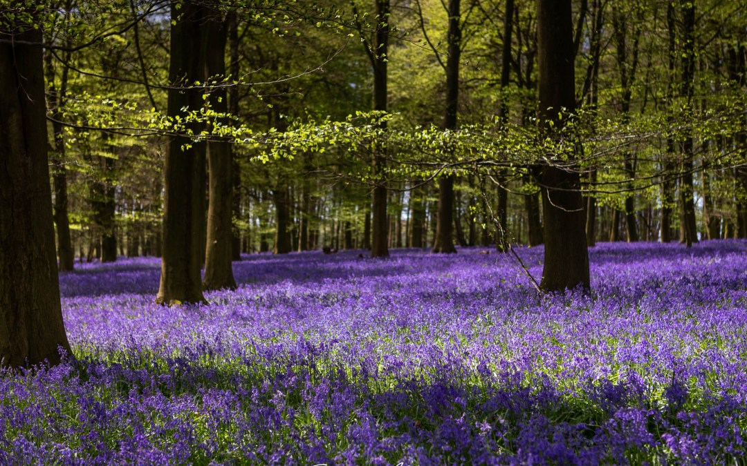 Bluebells at King's Wood near Challock