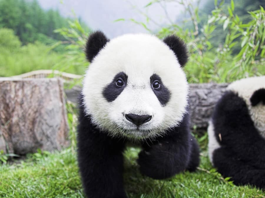 Omega Speedmaster Panda