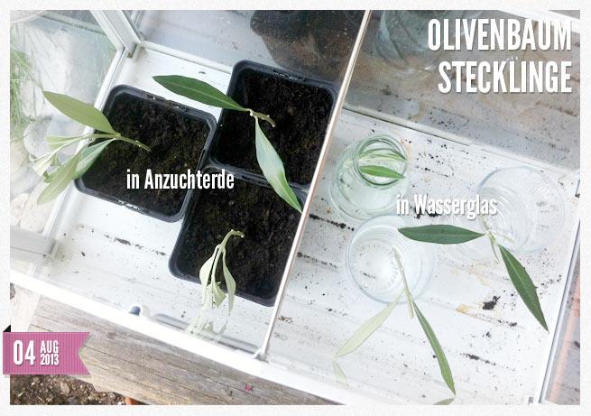 olivenbaum vermehren ein optimistischer versuch fraumau. Black Bedroom Furniture Sets. Home Design Ideas