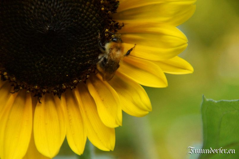 Flashback 2012 - Sunflower