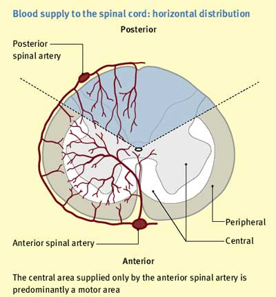 Image result for blood supply of spinal cord